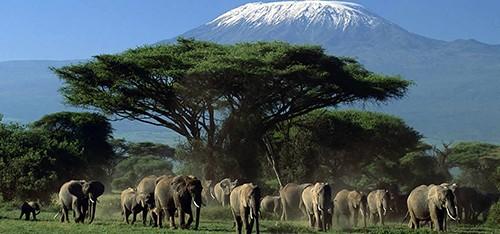 پارک ملی آمبوسلی محل امنی برای فیل هاست و برای همین گله های بزرگی از انها در این پارک زندگی می کنند